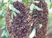 Fumigar abejas, retiros de panales de abejas 792-4646