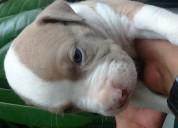 Preciosos bebes pitbulls rednose