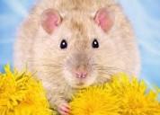 Matamos ratas desratizamos  7968942. 975255535